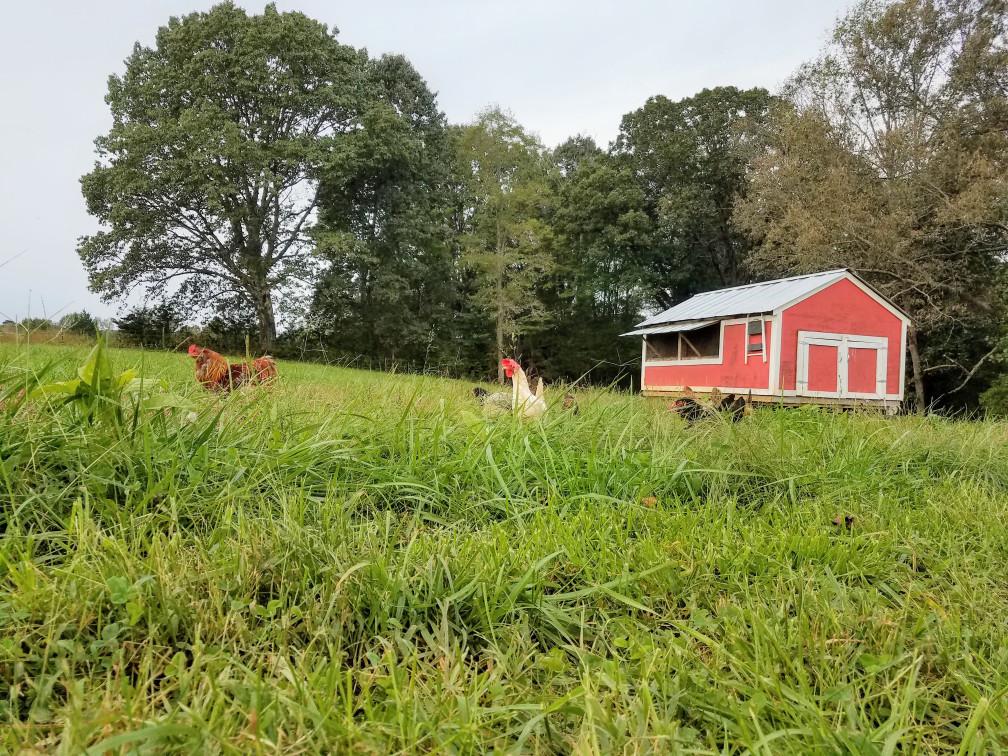 Real free-range chickens on lush pasture near Charlottesville, Va
