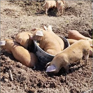 Pigs in a Tub